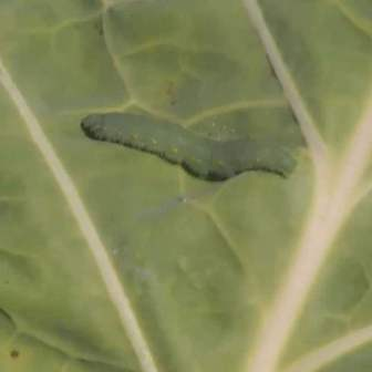 Cabbage looper on a collard green leaf.