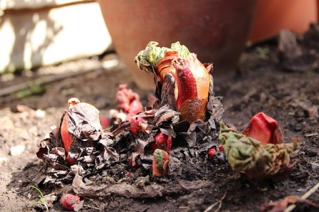 Rhubarb crowns emerging from the soil.