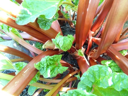 Rhubarb stalks ready to be cut.