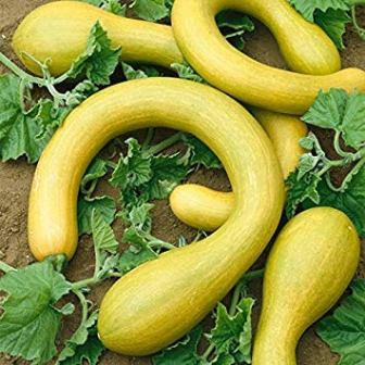 Tromboncino squash seeds from IDEA HIGH