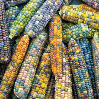 Burpee glass gem corn seeds