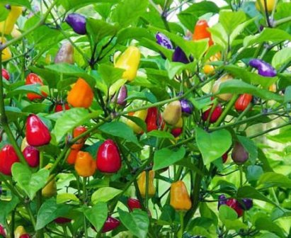 Harley Store - Chinese five color peppers