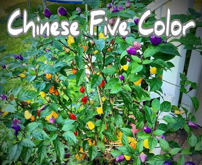 Jaytibby - Chinese five color peppers