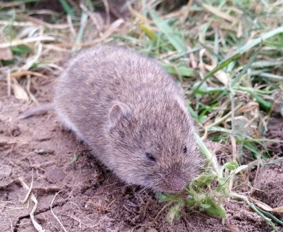 Vole - field mouse eating garden plants.