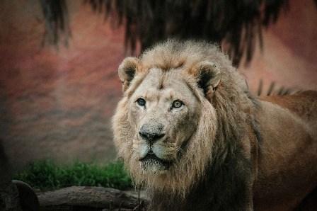 Aslan - of Narnia fame.