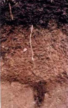 Lester soil - state soil of Minnesota