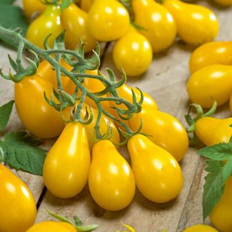 Burpee Yellow Pear Tomato seeds.