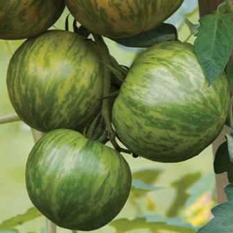 Burpee Green Zebra tomato seeds.