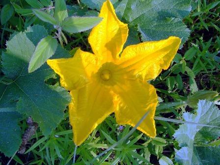 Male squash flower - stamen