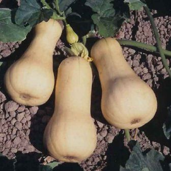 Stonysoil Seed Company butternut squash seeds