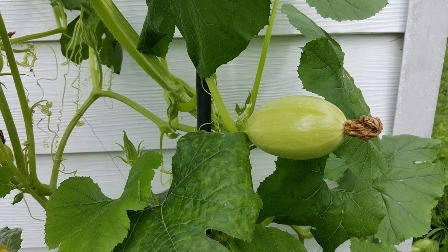 If spaghetti squash has green on the skin, leave it on the vine until it gets yellow.