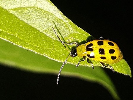 Cucumber beetles love spaghetti squash and they carry mosaic virus.