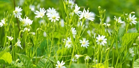 Chickweed is one of the great edible weeds.