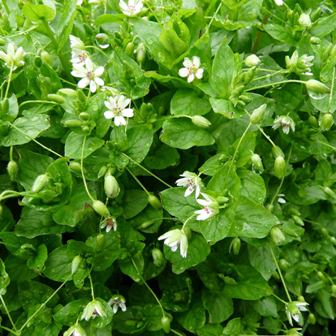 Frozen Seed Capsules chickweed seeds