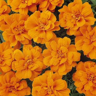 Edible flowers - Outsidepride French Marigold flower seeds