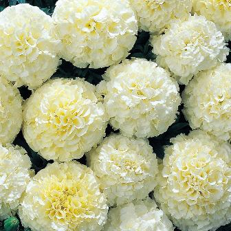 Edible flowers - Burpee Snowball Marigold seeds