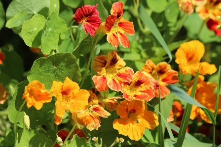Edible flowers - Nasturtiums