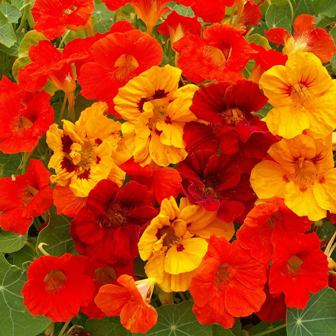 Edible flowers - Outsidepride Nasturtium Seeds