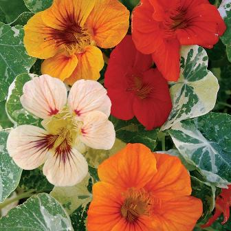 Edible flowers - Burpee Alaska Mix Nasturtium seeds